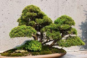 400-Year-Old Bonsai Stolen